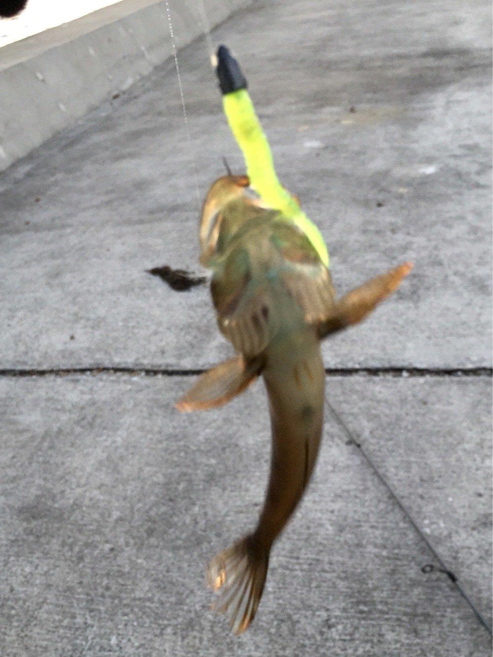 アナハゼさんの投稿画像,写っている魚はアナハゼ