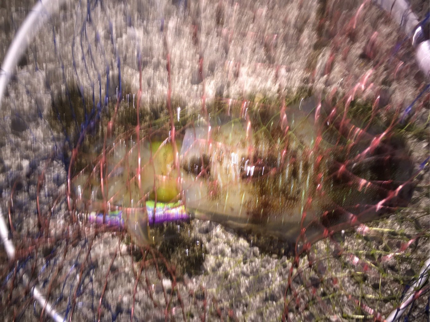 BENさんの投稿画像,写っている魚はアオリイカ