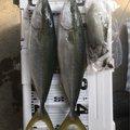 釣りキチさんの徳島県鳴門市でのアオリイカの釣果写真