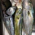 D.Mさんの神奈川県座間市でのシイラの釣果写真