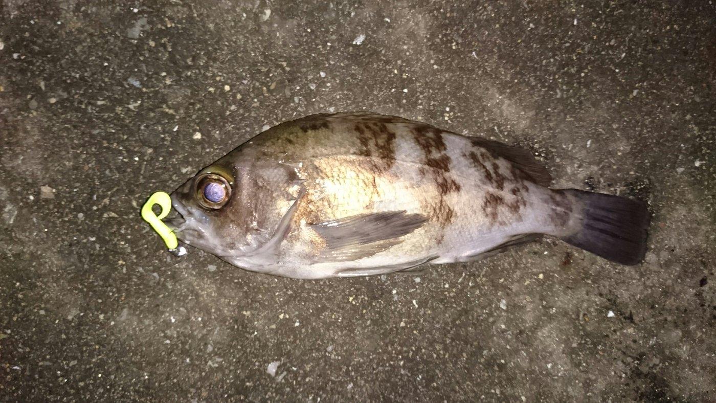 つーさんさんの投稿画像,写っている魚はクロメバル