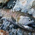 ていじんさんの群馬県多野郡での釣果写真