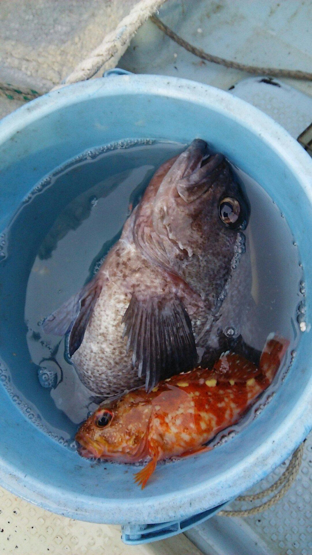 右右右さんの投稿画像,写っている魚はクロソイ