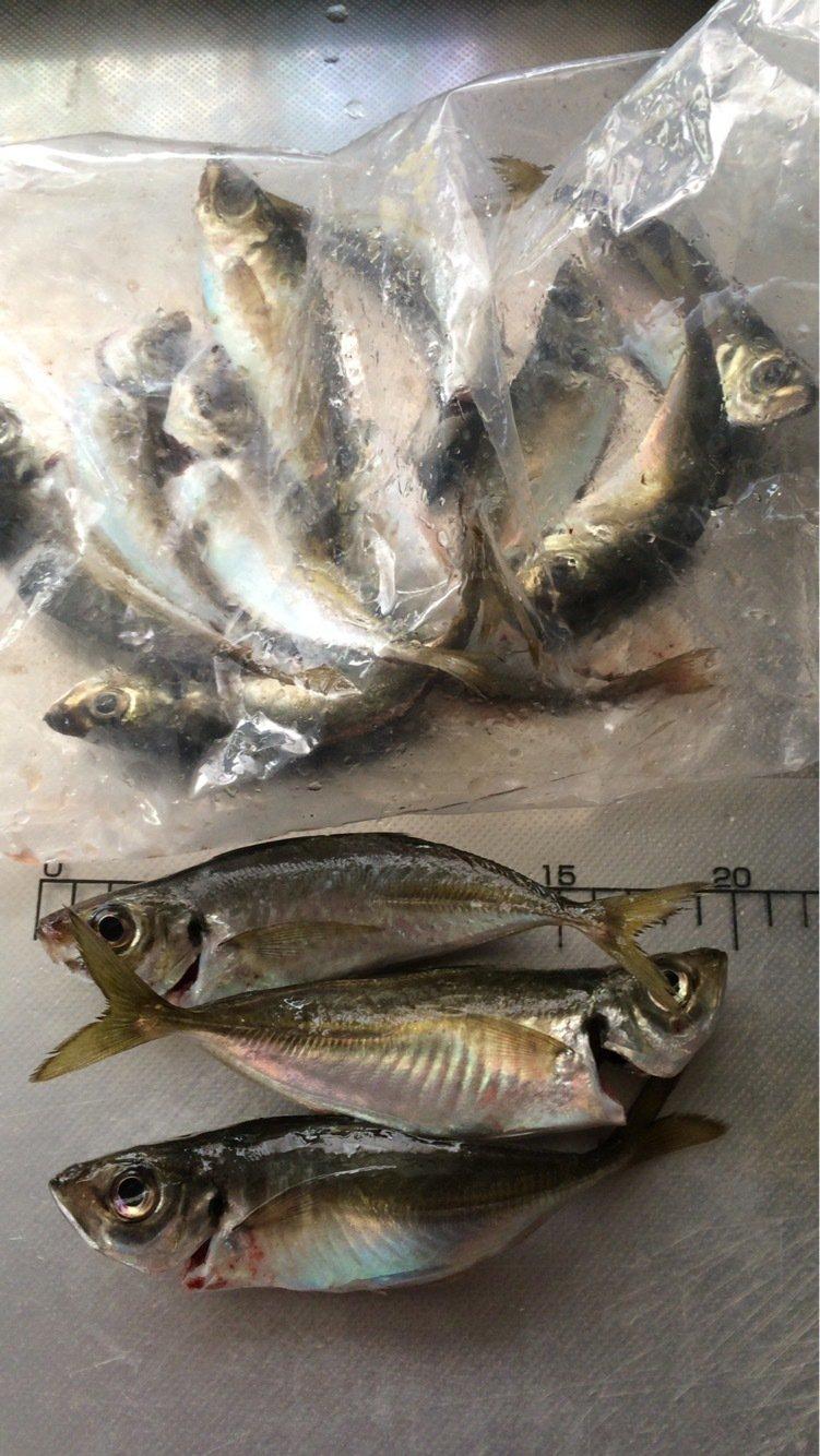 Light®️iggerさんの投稿画像,写っている魚はアジ