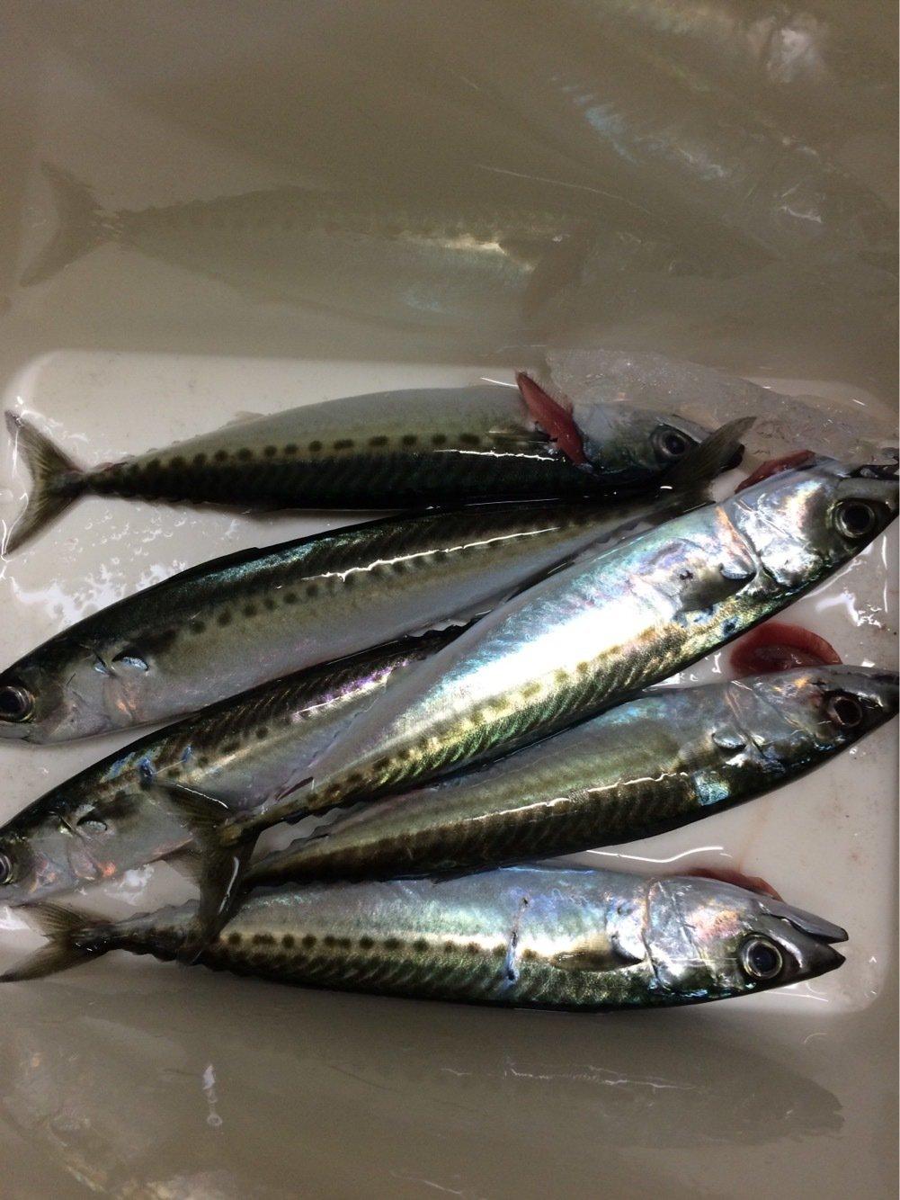 wideglideさんの投稿画像,写っている魚はゴマサバ