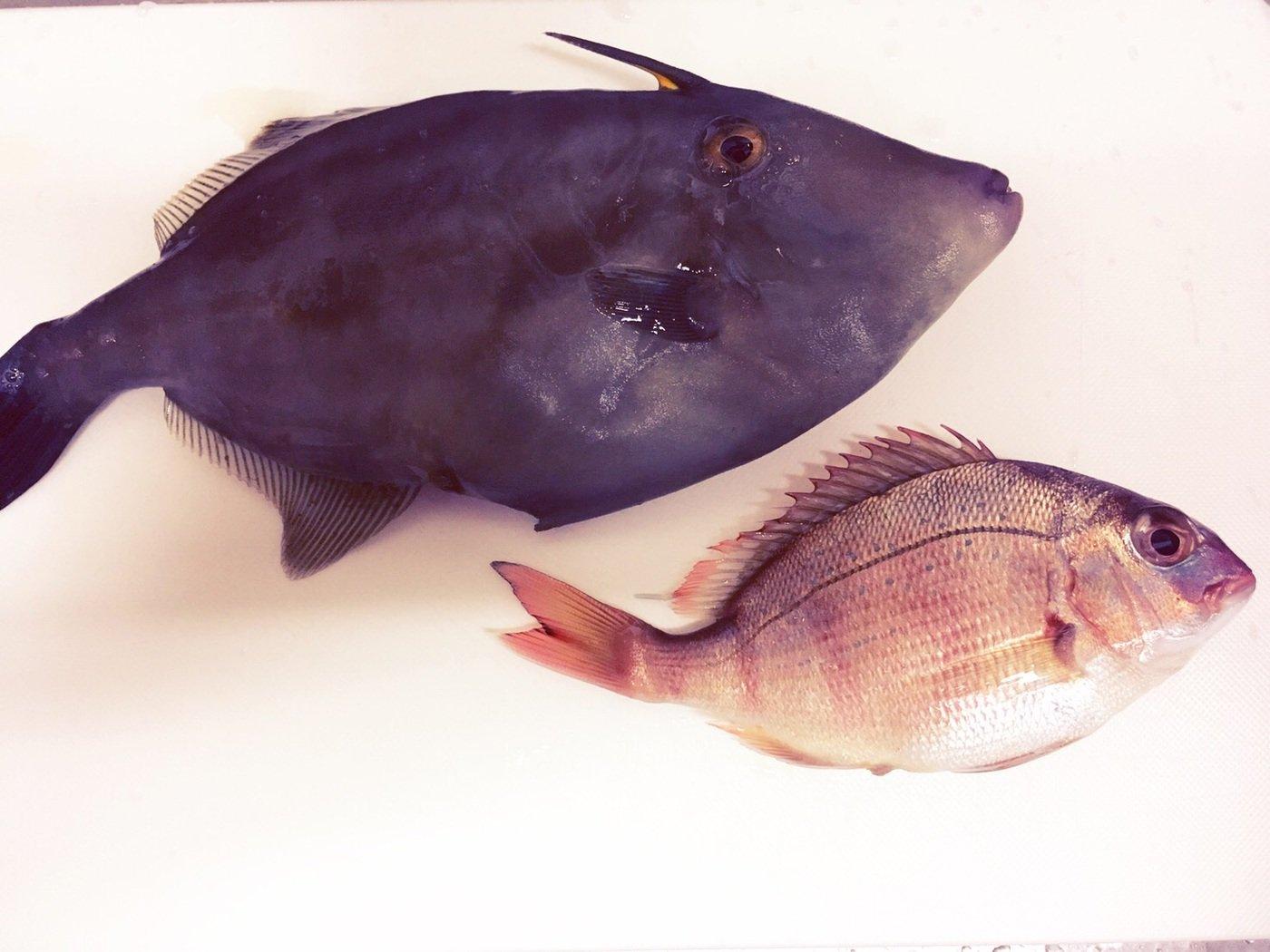 momoさんの投稿画像,写っている魚はウマヅラハギ,マダイ