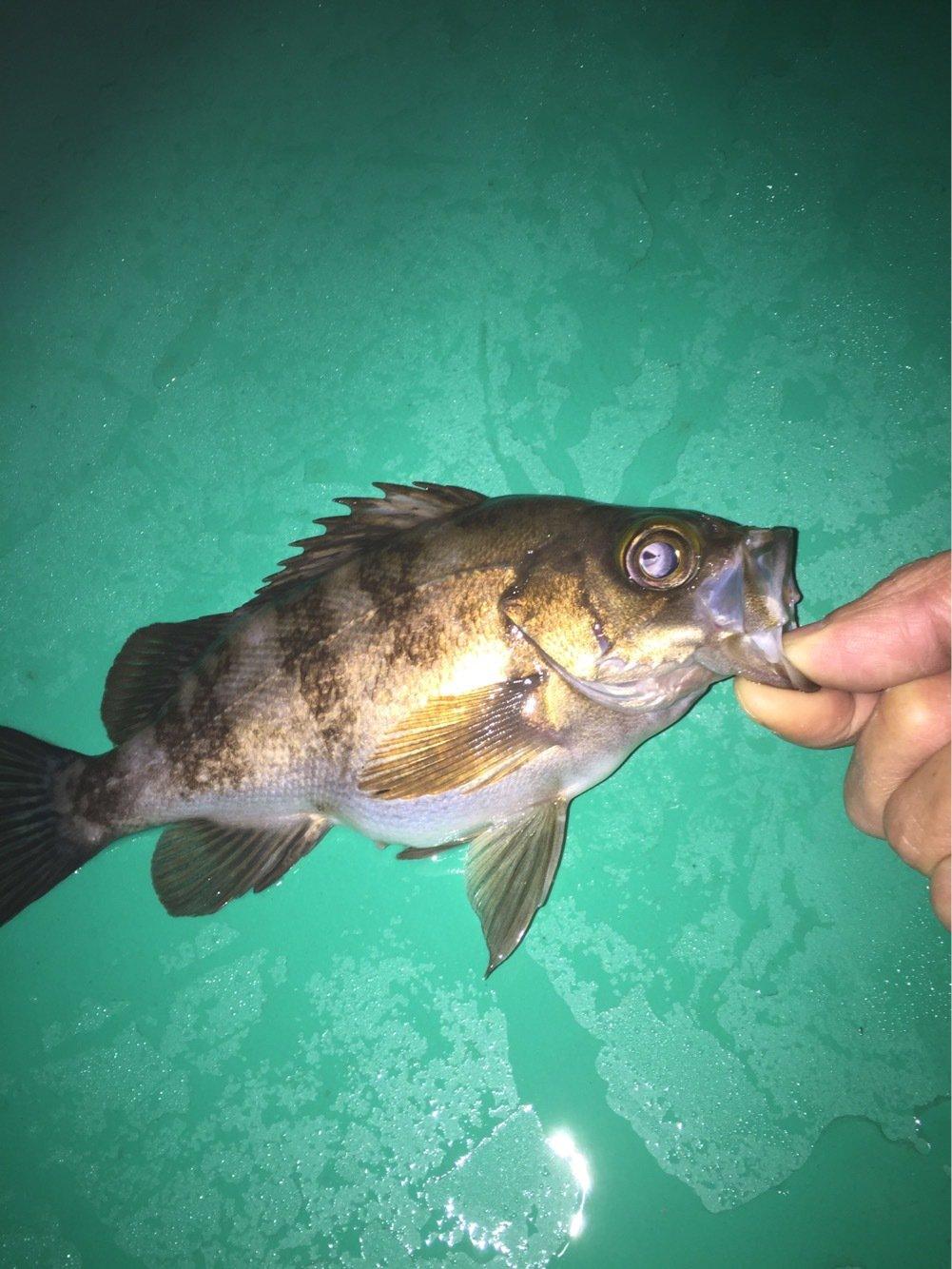 まるおさんの投稿画像,写っている魚はメバル