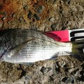 サトシさんの千葉県安房郡でのクロダイの釣果写真