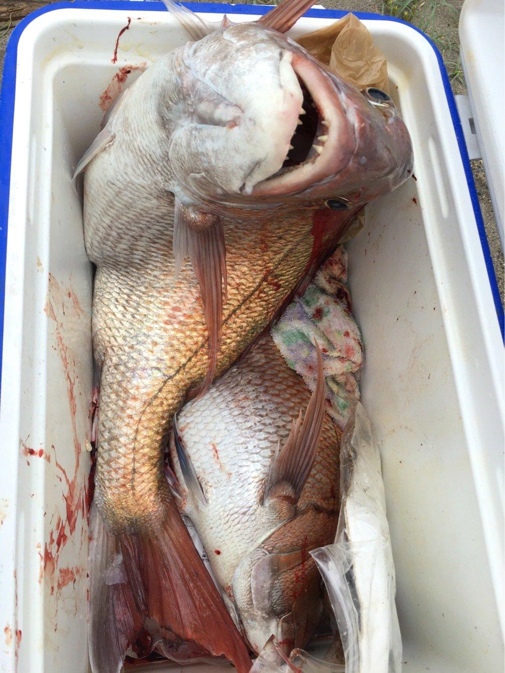 ぬこ好きさんの投稿画像,写っている魚はマダイ