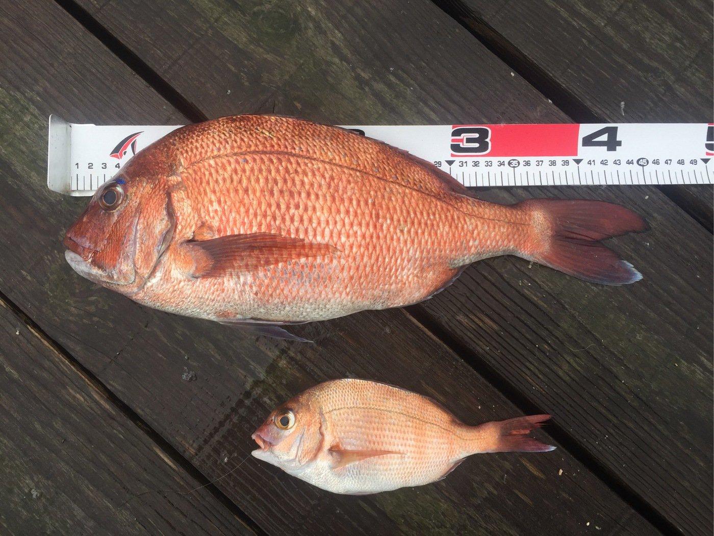 クマGOROさんの投稿画像,写っている魚は