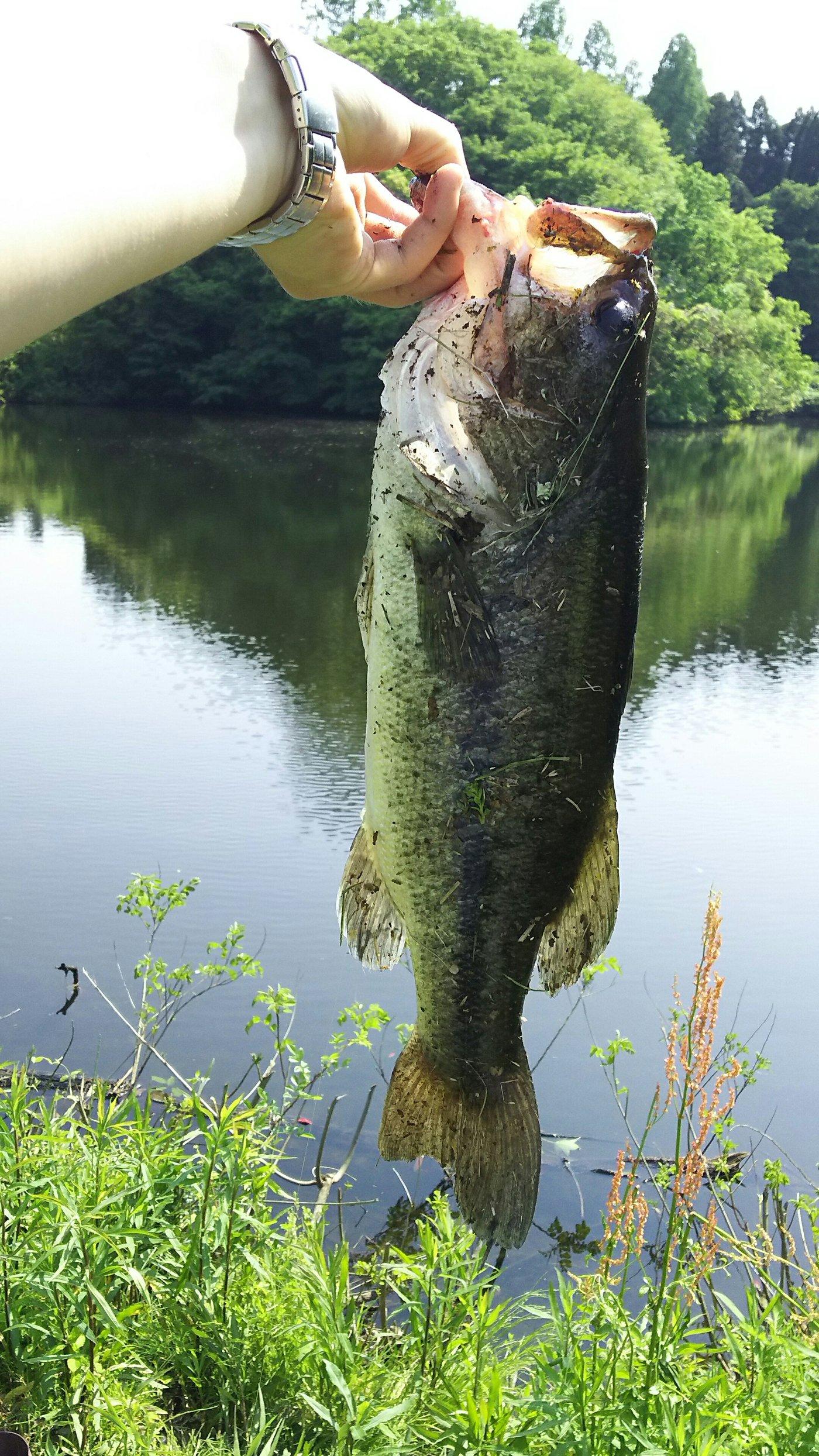 ちゃんぐむさんの投稿画像,写っている魚はブラックバス