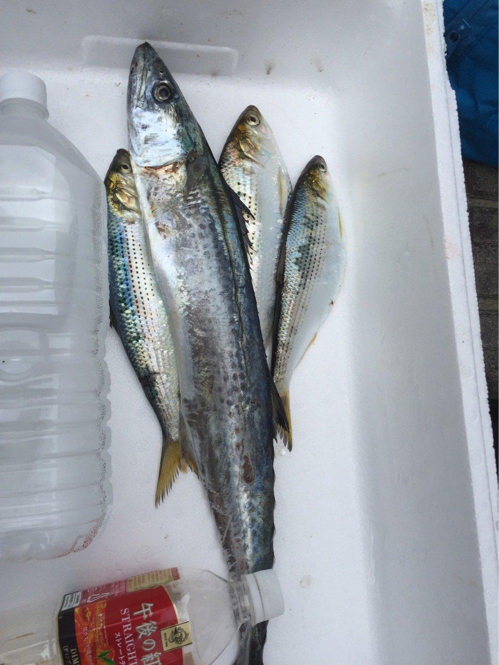 nob3Sさんの投稿画像,写っている魚はサワラ