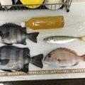 タクヤさんの神奈川県三浦郡でのマダイの釣果写真