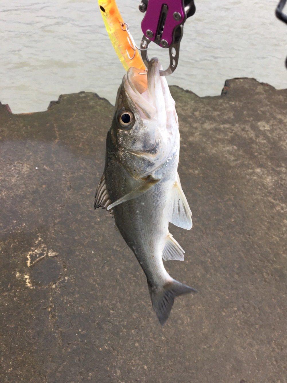 まずめさんの投稿画像,写っている魚はスズキ