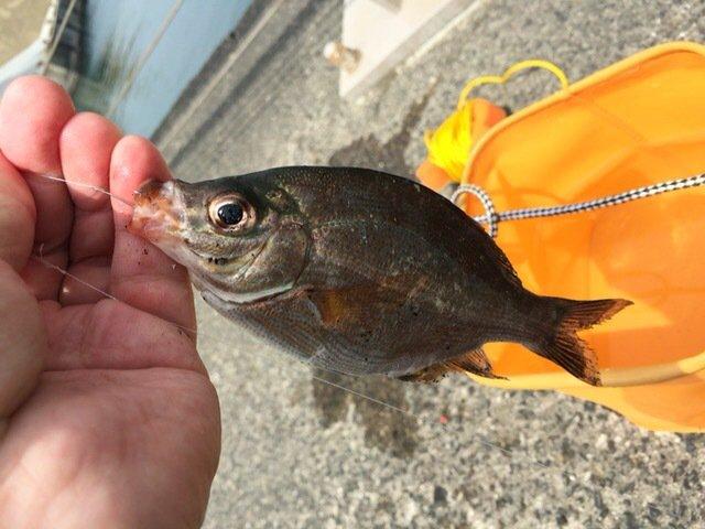 とらべるのーとさんの投稿画像,写っている魚はウミタナゴ