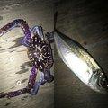 わっさんさんのシロメバルの釣果写真