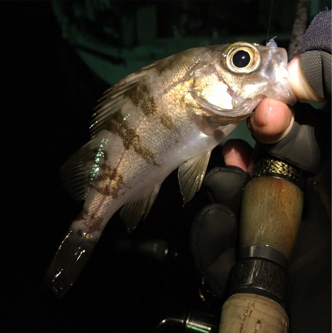 umi_usiさんの投稿画像,写っている魚はメバル