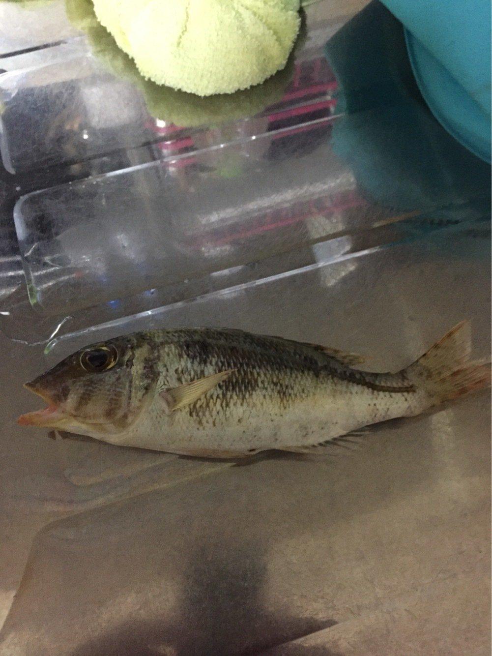 まっちゃんさんの投稿画像,写っている魚はハマフエフキダイ