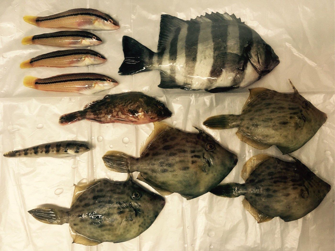 momoさんの投稿画像,写っている魚はイシダイ,カワハギ,カサゴ,キュウセン,カジカ