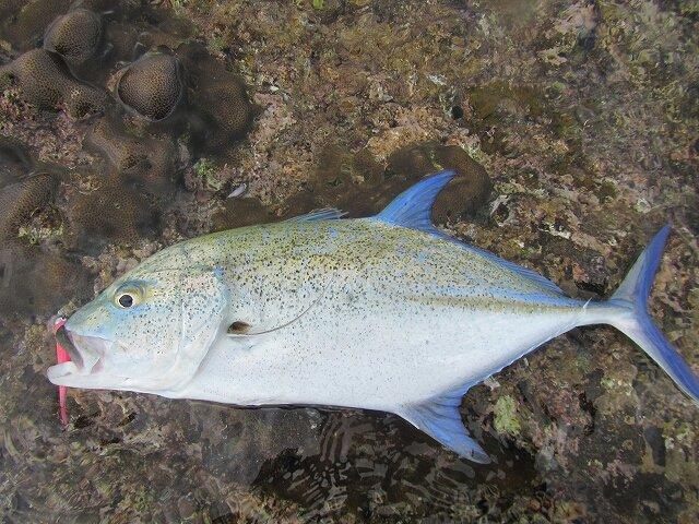 ぼびぃさんの投稿画像,写っている魚はカスミアジ