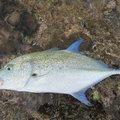 ぼびぃさんの沖縄県島尻郡でのカスミアジの釣果写真