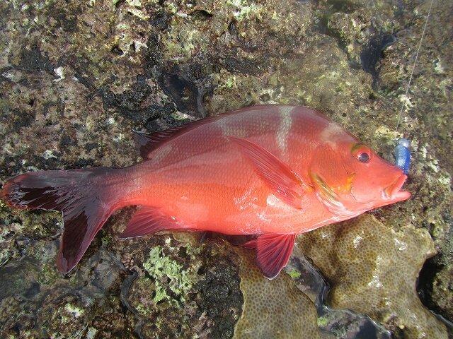 ぼびぃさんの投稿画像,写っている魚はヒメフエダイ