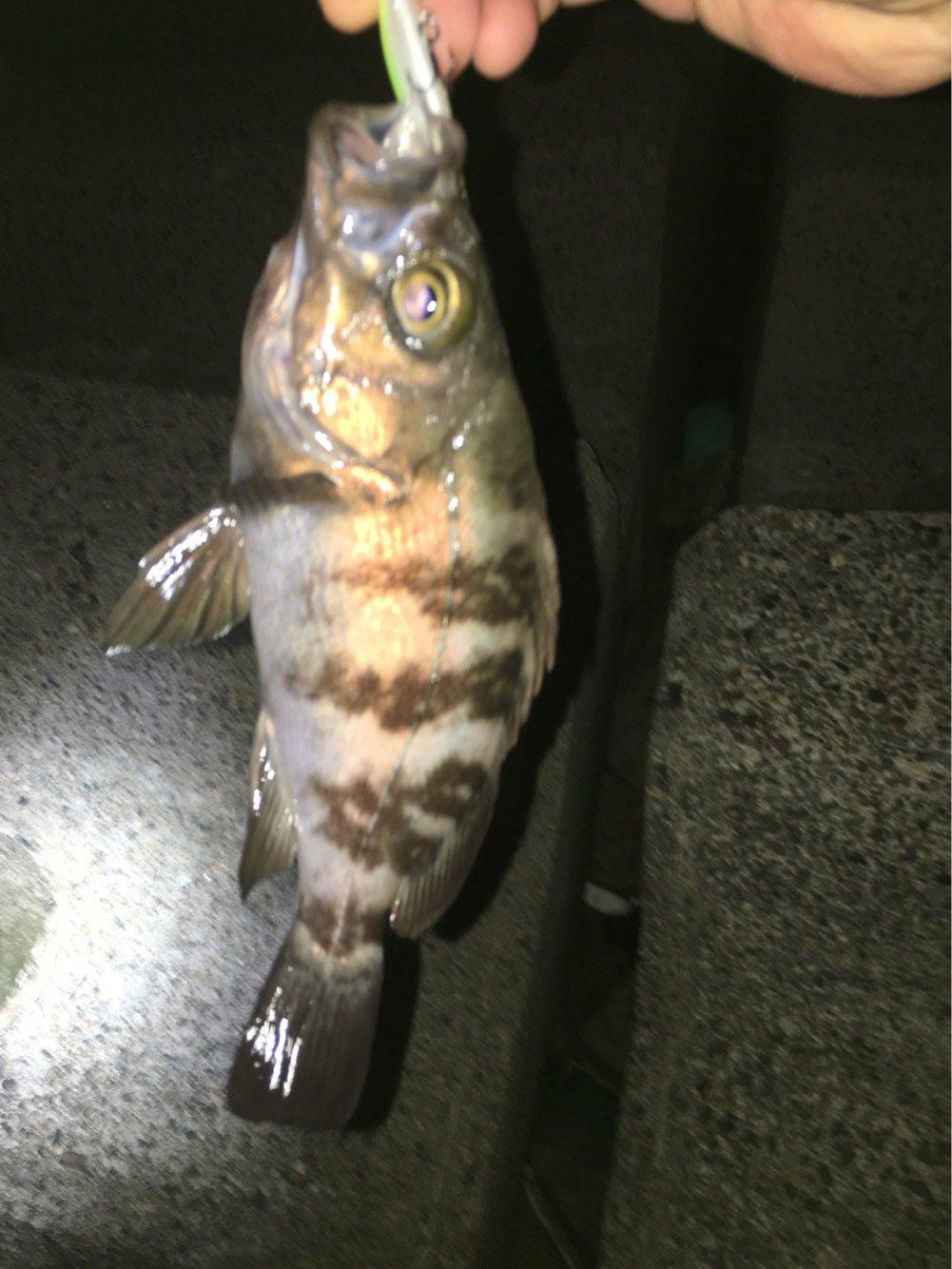 しゅうずさんの投稿画像,写っている魚はクロメバル
