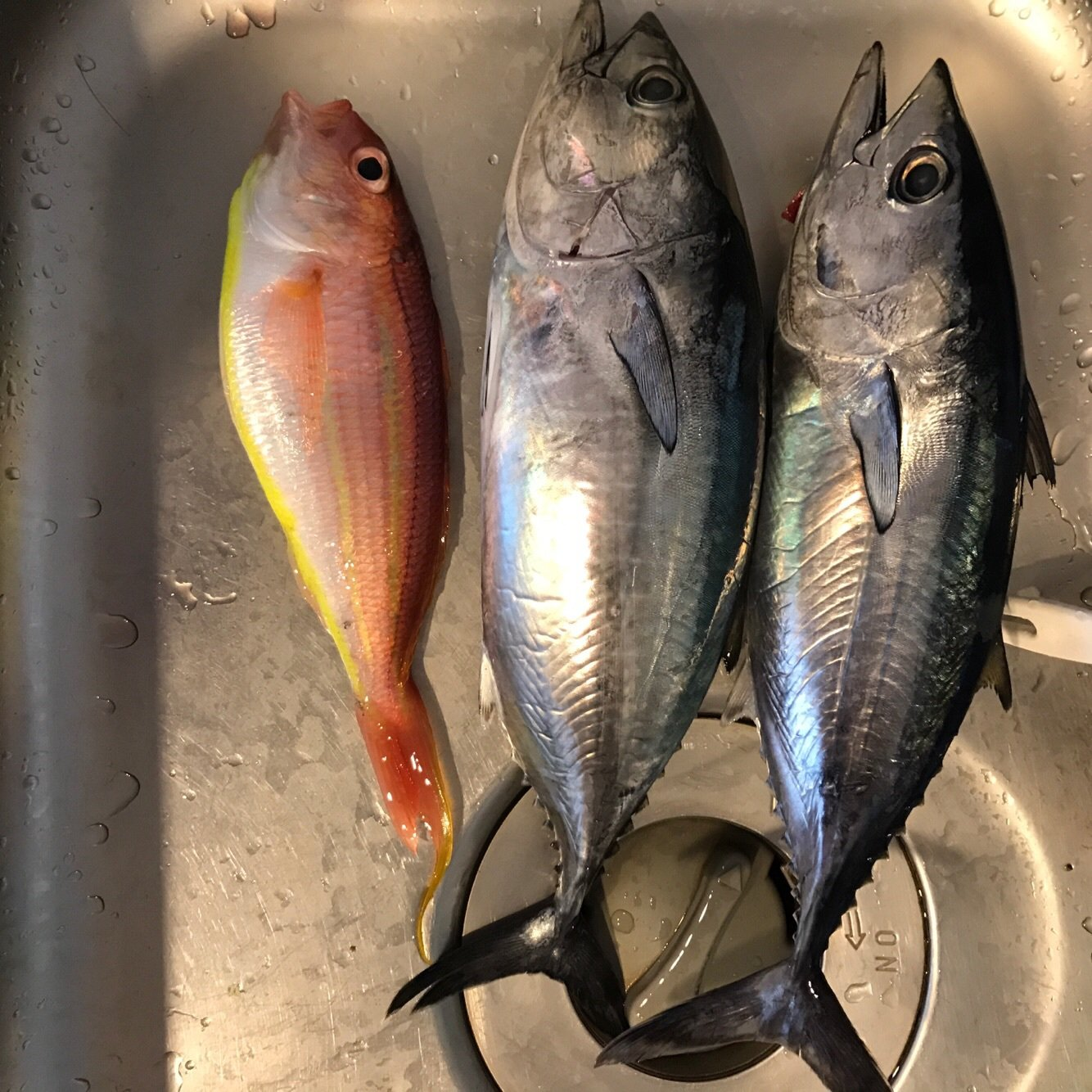 カブさんの投稿画像,写っている魚はメジマグロ,イトヨリダイ
