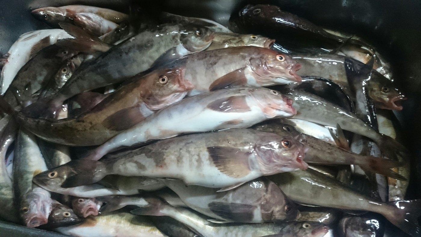 kaoさんの投稿画像,写っている魚はホッケ