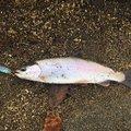 いさくぶのさんの北海道千歳市での釣果写真