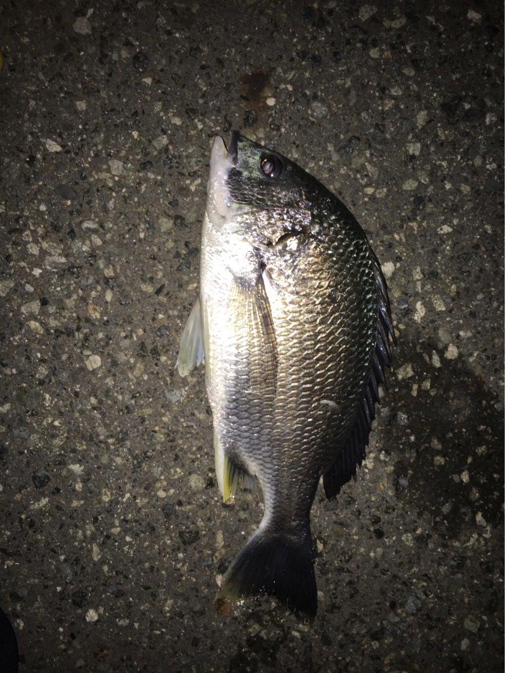 マリさんの投稿画像,写っている魚はキチヌ