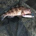 いなしんさんの鹿児島県鹿児島市でのオオモンハタの釣果写真