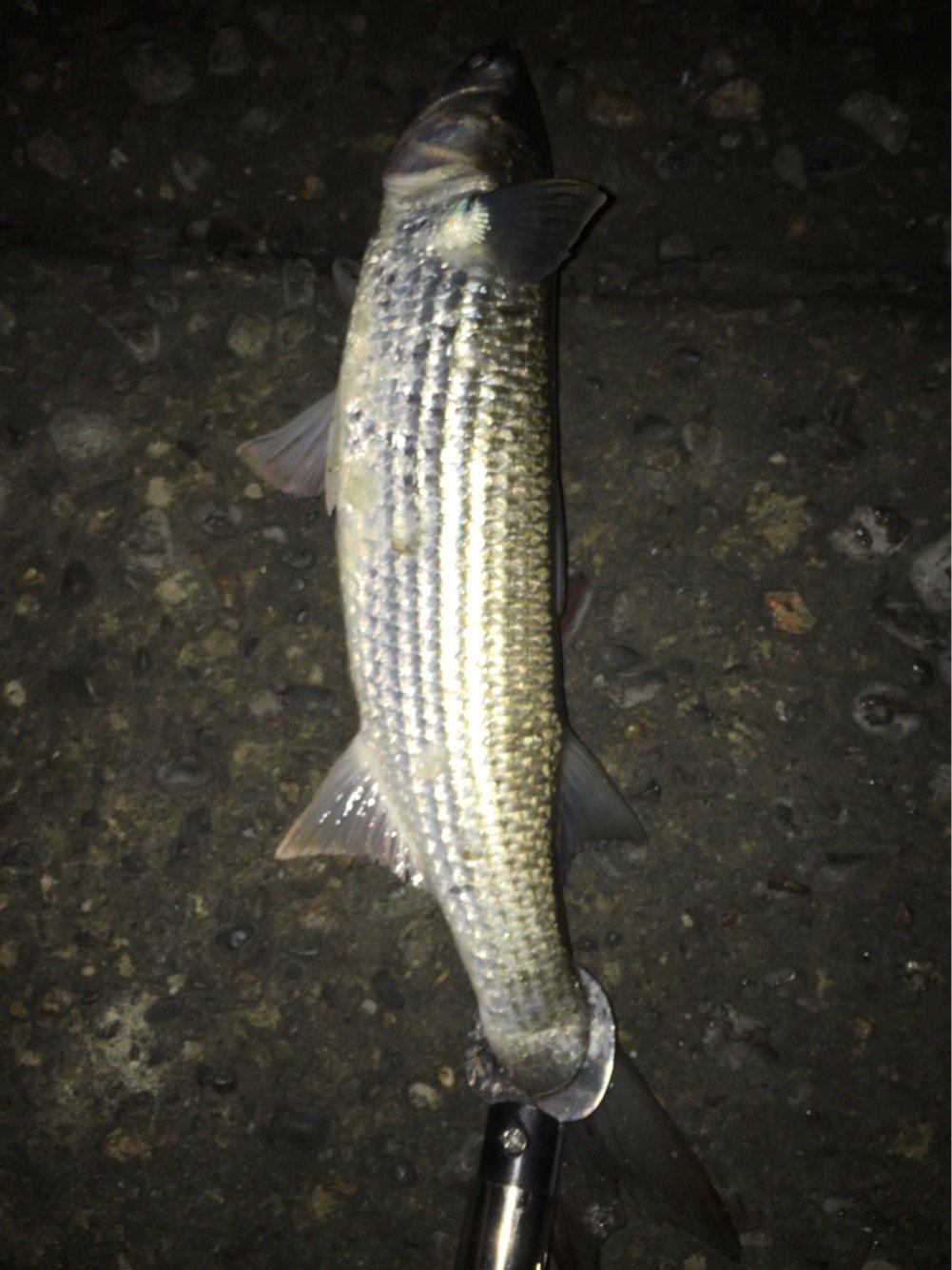 佐藤 勇登さんの投稿画像,写っている魚はボラ