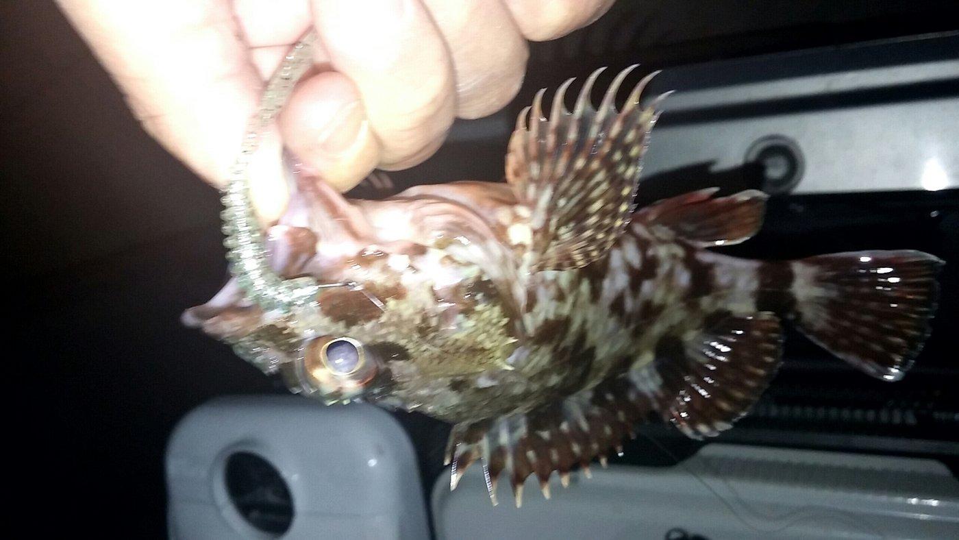 大崎の主さんの投稿画像,写っている魚はカサゴ