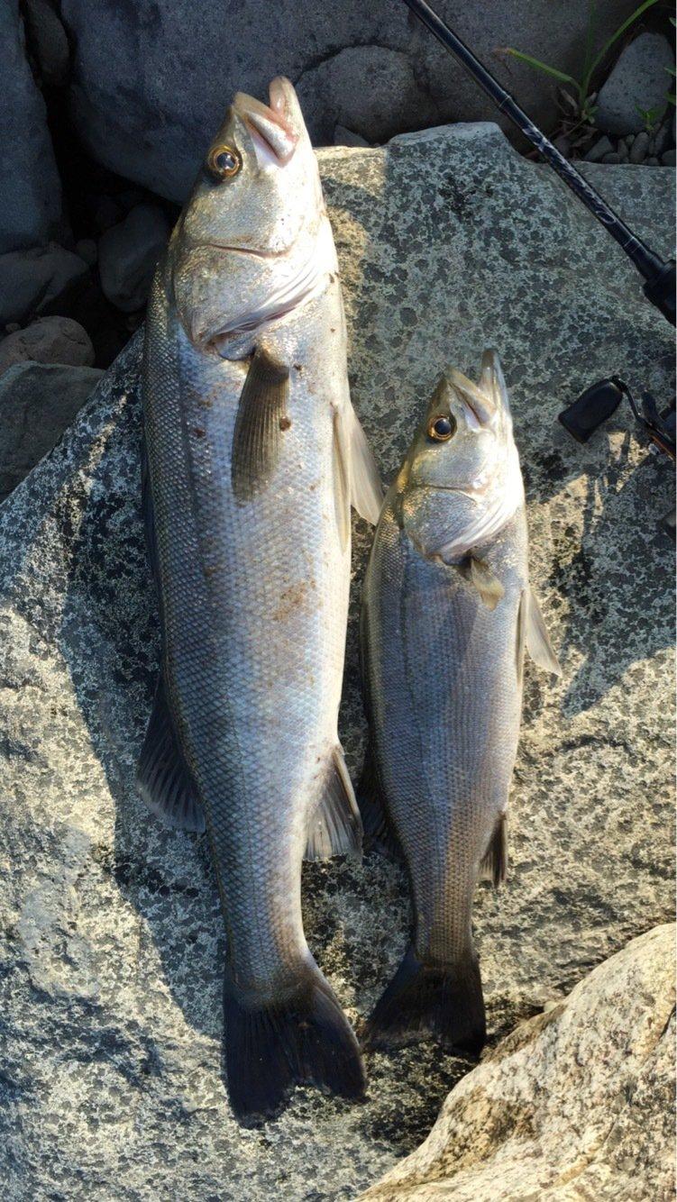 ともやさんの投稿画像,写っている魚はスズキ