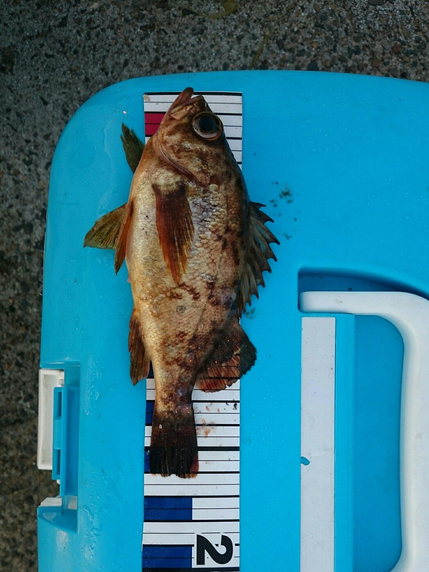ヒロさんの投稿画像,写っている魚はメバル