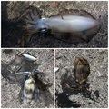 かっしーさんの徳島県阿南市でのアオリイカの釣果写真