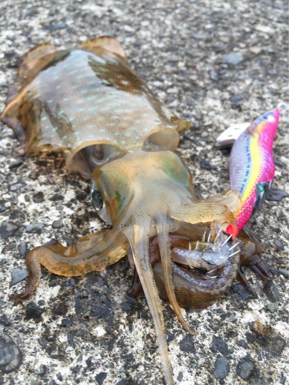 taketonbowさんの投稿画像,写っている魚はアオリイカ