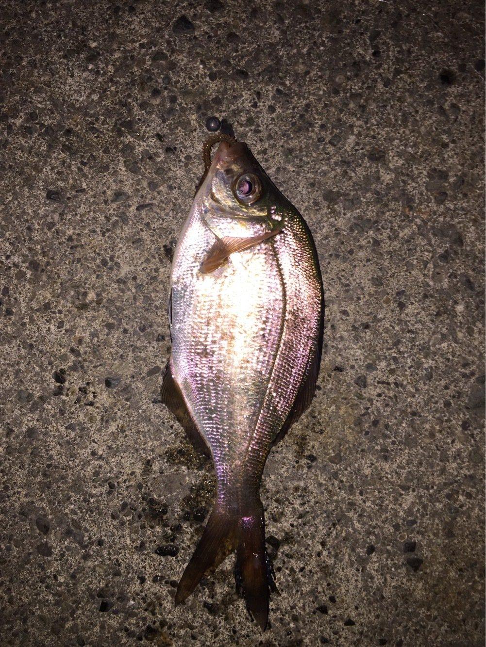 メバルさんの投稿画像,写っている魚はウミタナゴ