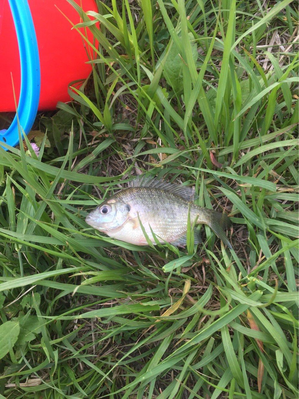釣りキチこじ平さんの投稿画像,写っている魚はブルーギル