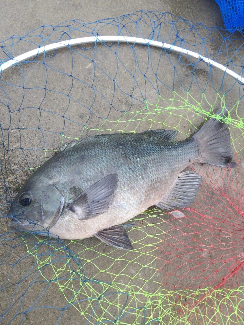 プレジャーさんの投稿画像,写っている魚はメジナ
