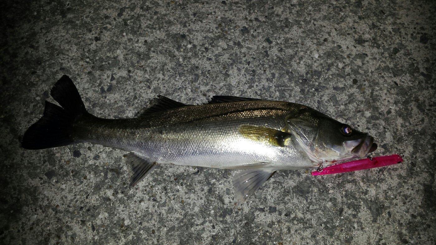 カネゴンさんの投稿画像,写っている魚はスズキ
