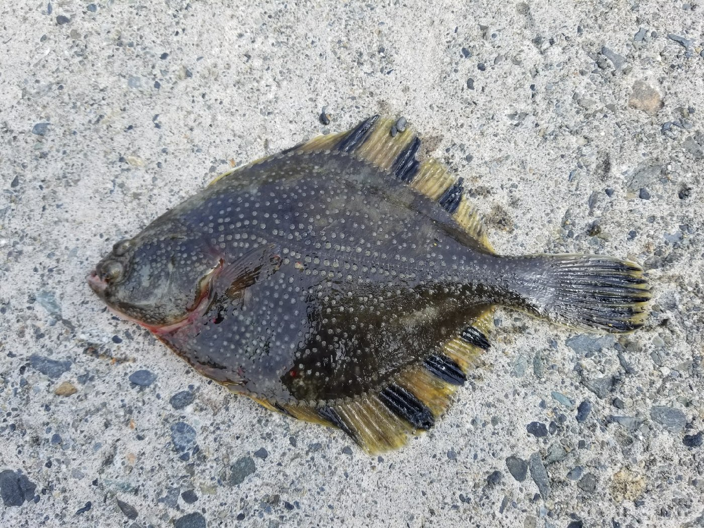 しもちんさんの投稿画像,写っている魚はヌマガレイ