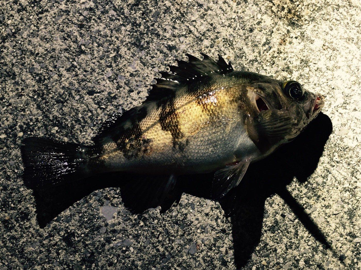 75さんの投稿画像,写っている魚はメバル