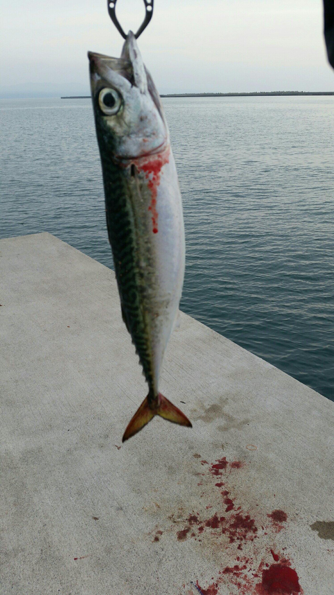 業務部長2さんの投稿画像,写っている魚はゴマサバ