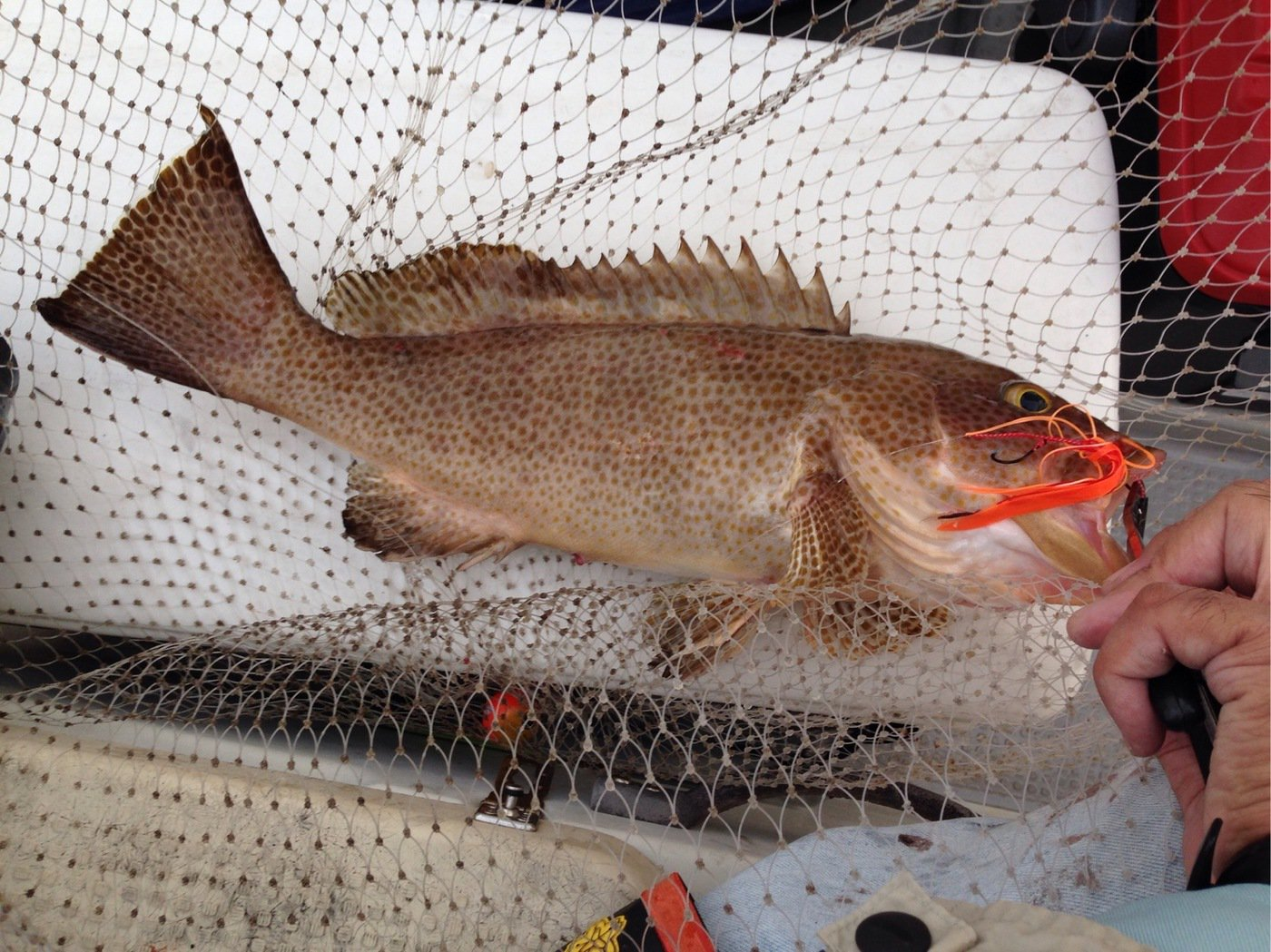 htkanglerさんの投稿画像,写っている魚はオオモンハタ
