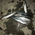 makashiさんの北海道石狩市でのニシンの釣果写真