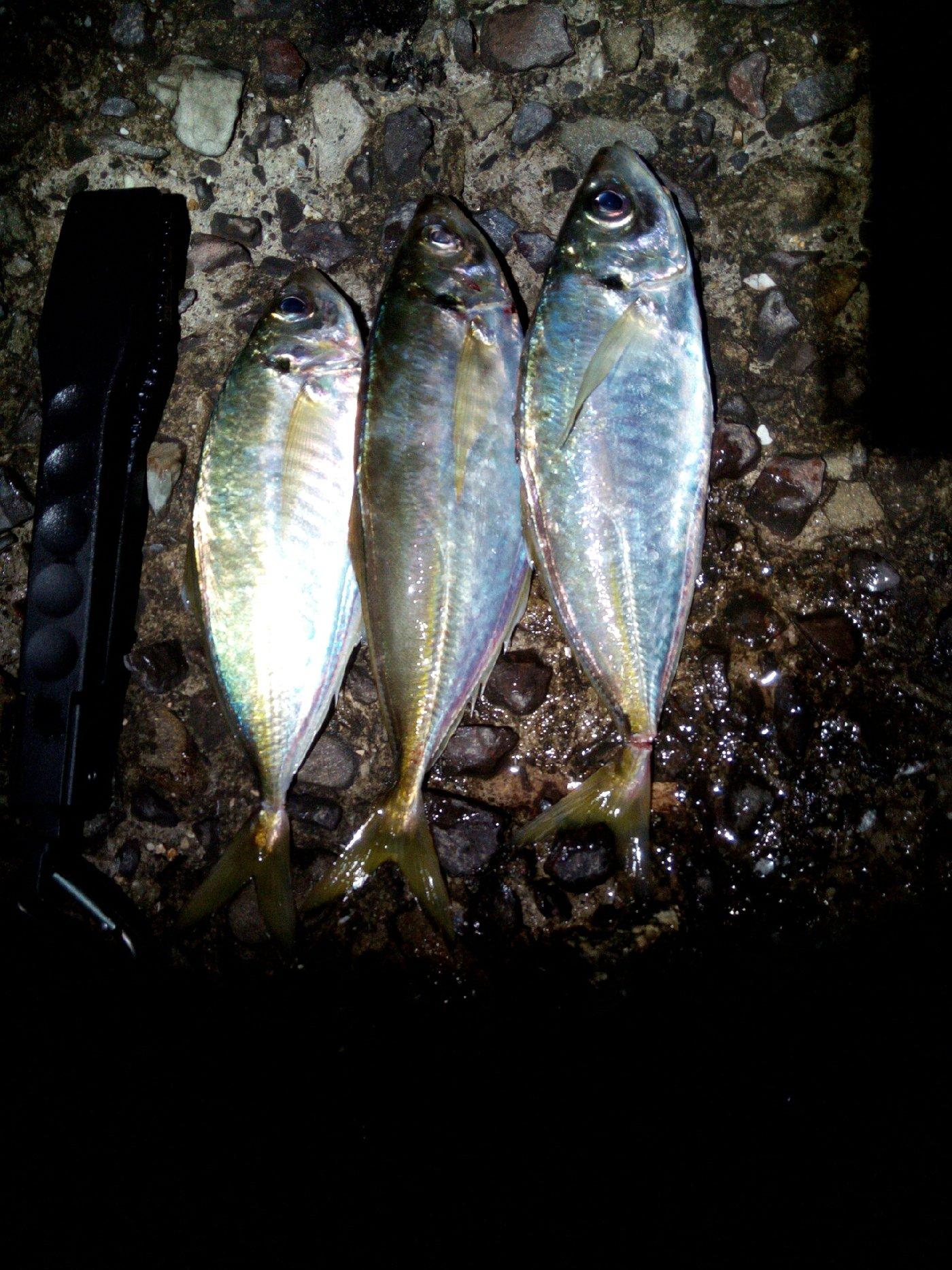 ポンチさんの投稿画像,写っている魚はアジ