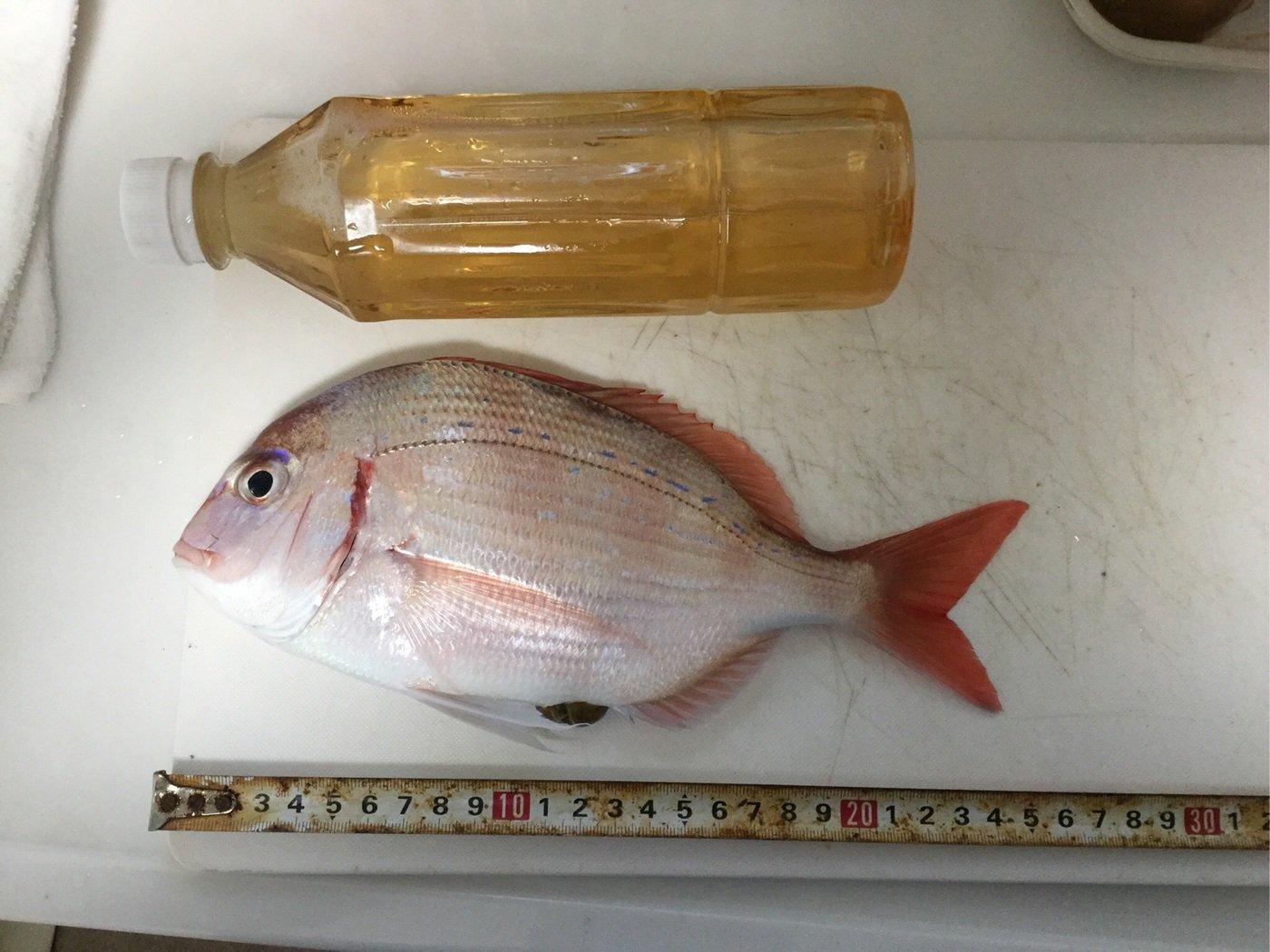 タクヤさんの投稿画像,写っている魚はチダイ