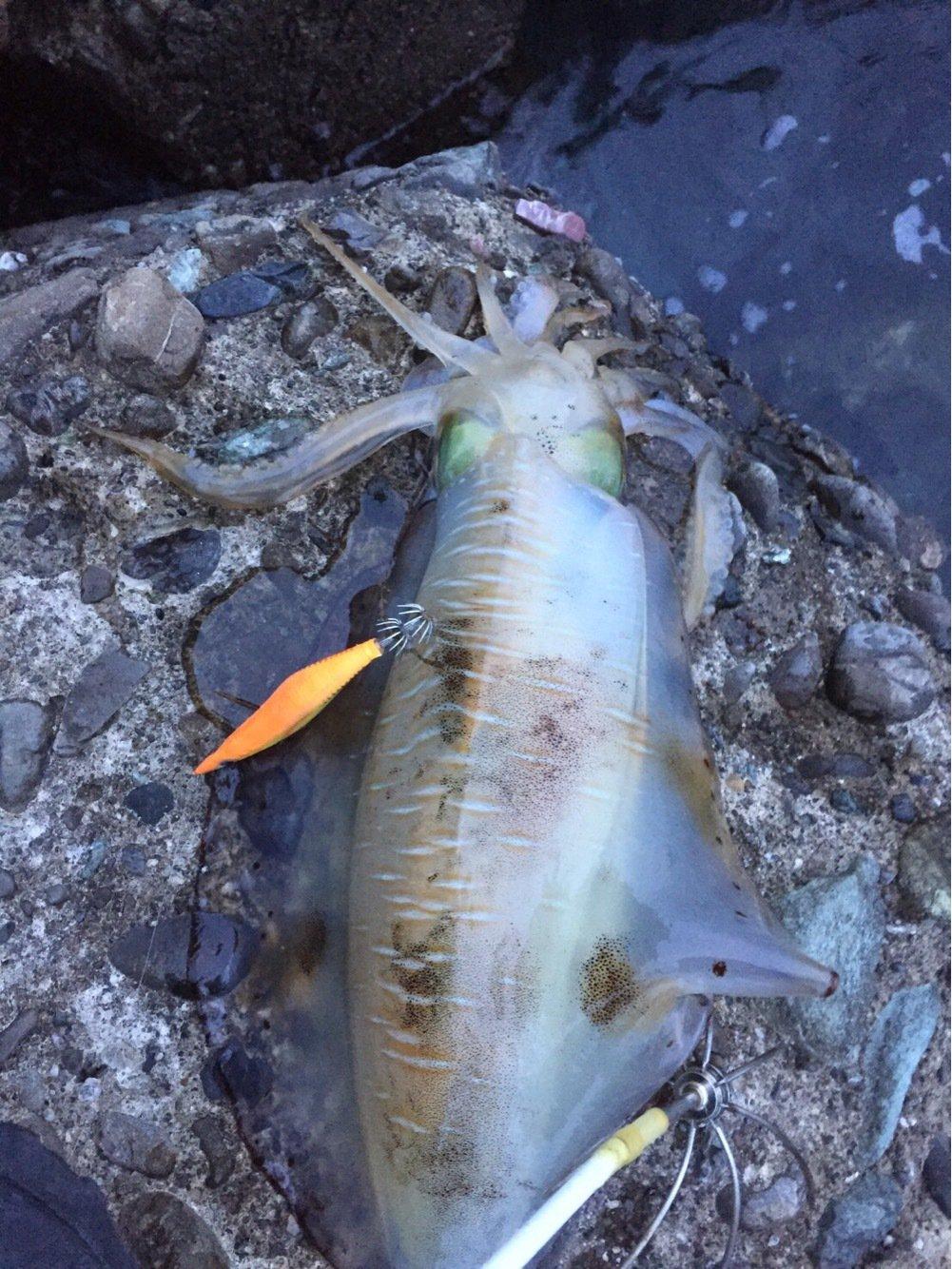TKAさんの投稿画像,写っている魚はアオリイカ